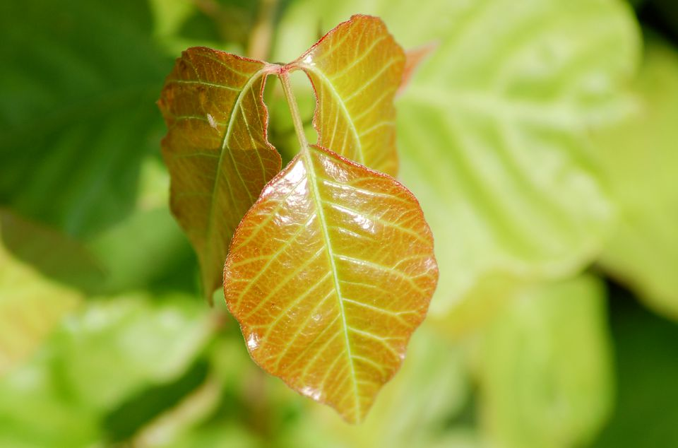 Poison ivy (image) has red leaves in spring. The weed looks different as year progresses.