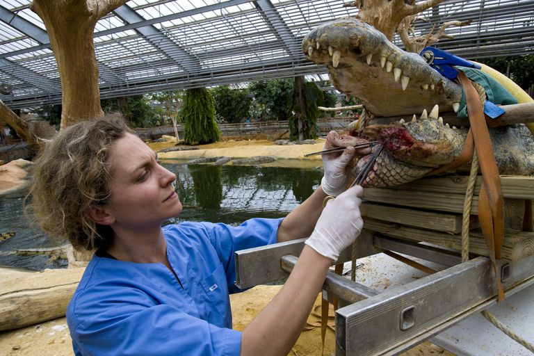 zoo vet operating on crocodile