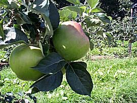 British Bramley Apples - Cooking Apples