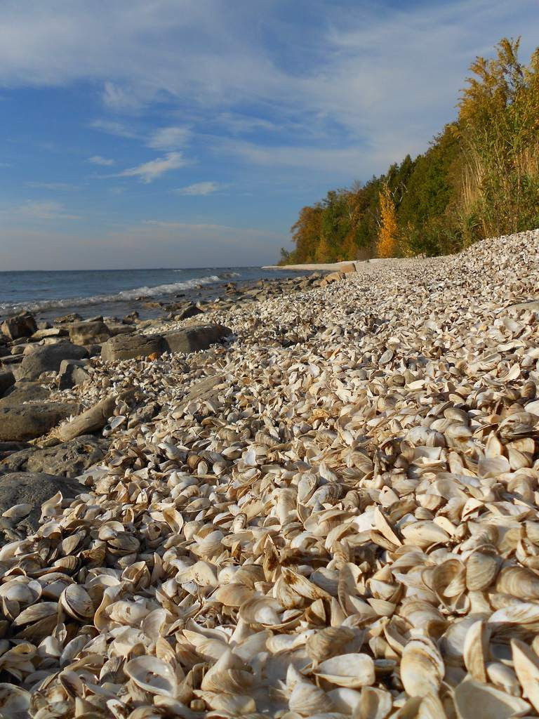 A Limestone Shore is Covered With Zebra Mussel Shells