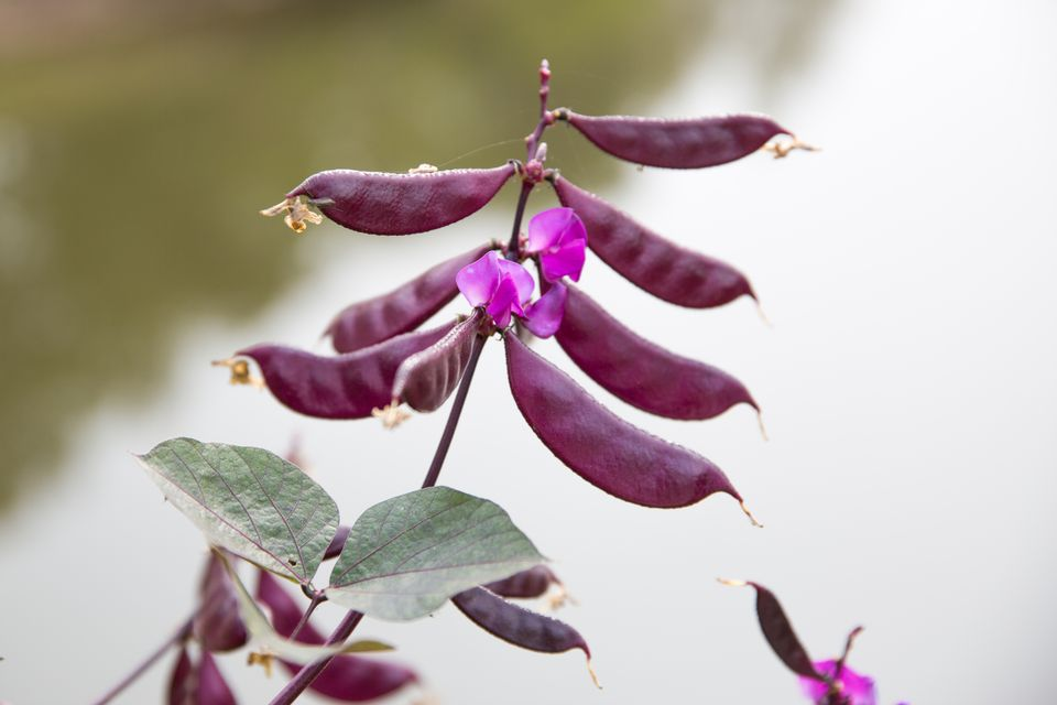 Purple Hyacinth Bean