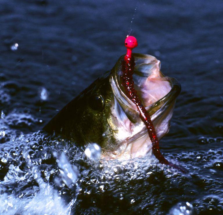 Thrashing largemouth bass