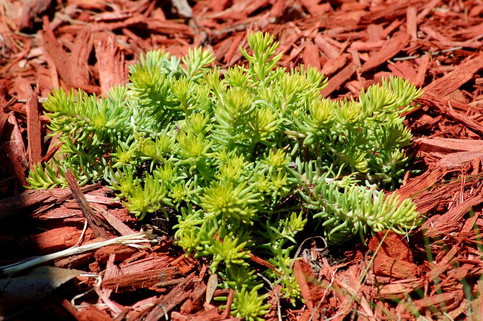 Angelina sedum (image) is a trailing type of stonecrop. Its foliage is golden-green.