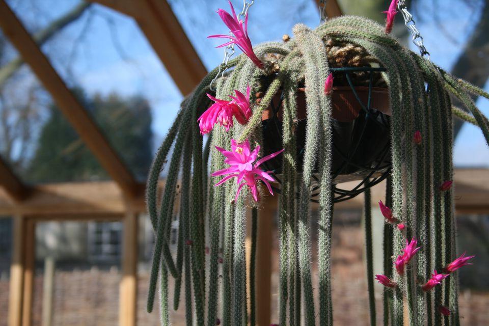 aporocactus.flickr.stuart.jpg