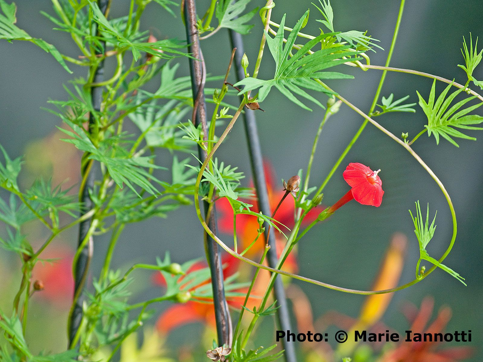 Cardinal Climber Flowering Vine Ipomoea Sloteri