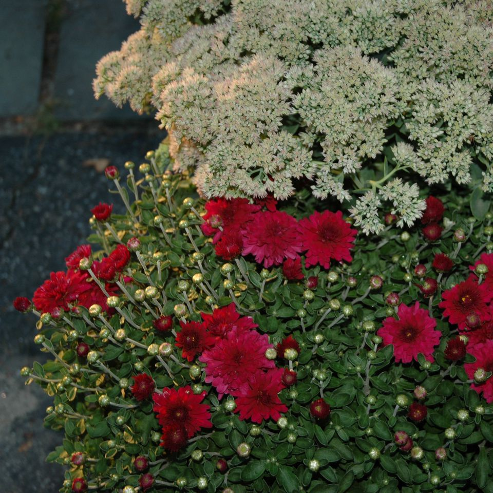fall container garden picture of sedum and mums