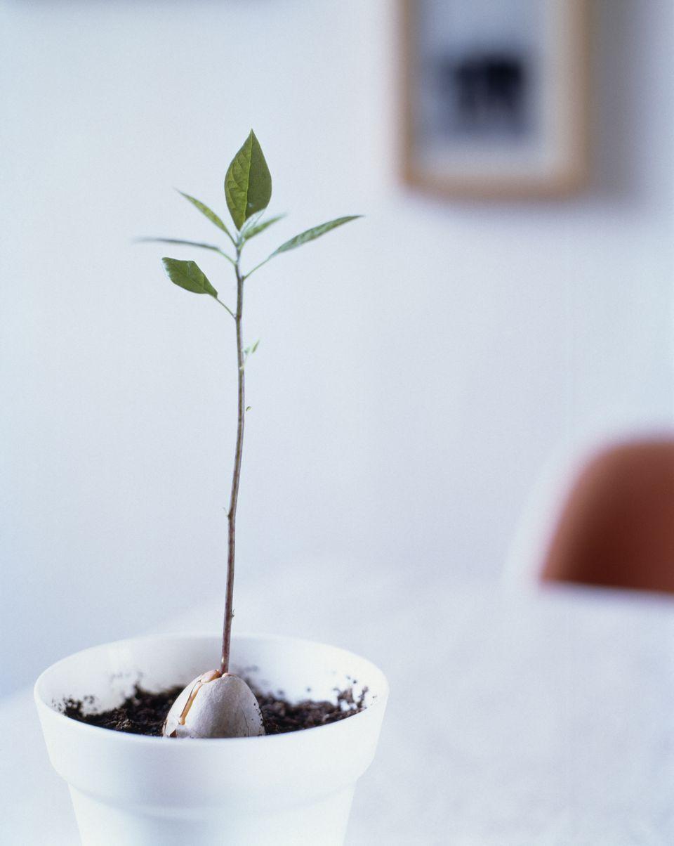 A potted avocado plant