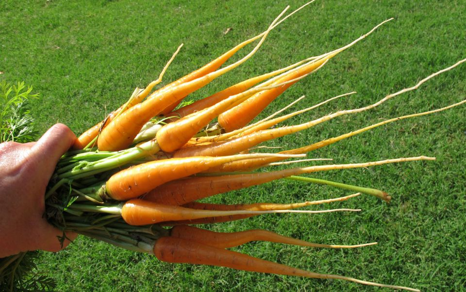 how to prepare clay soil for carrots