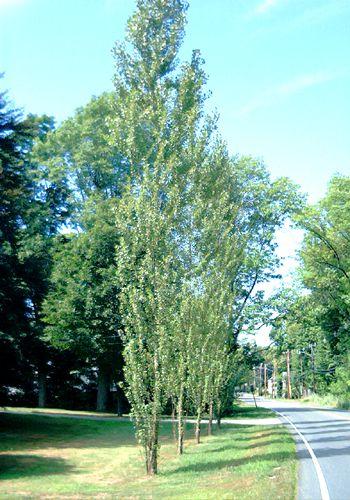 Lombardy poplars have a columnar shape.