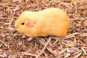 Guinea pig lice basics and prevention for Can head lice transfer in swimming pools