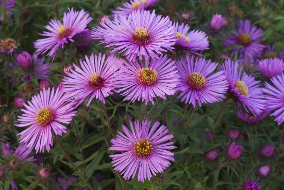 New England aster flowers with purple petals and yellow centers.