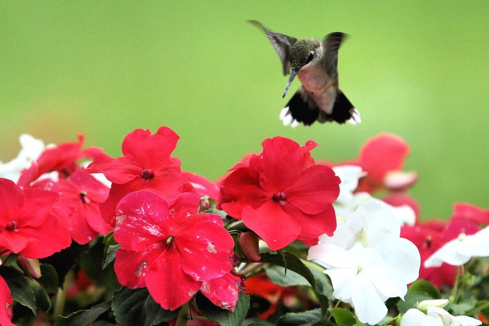 Make a Hummingbird Garden Attract Hummingbirds