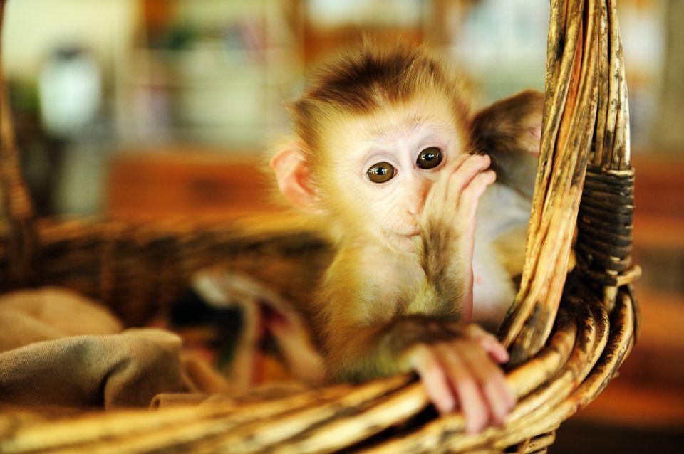 A Baby Monkey In Basket