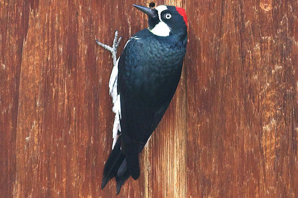 Acorn Woodpecker Drilling on a House