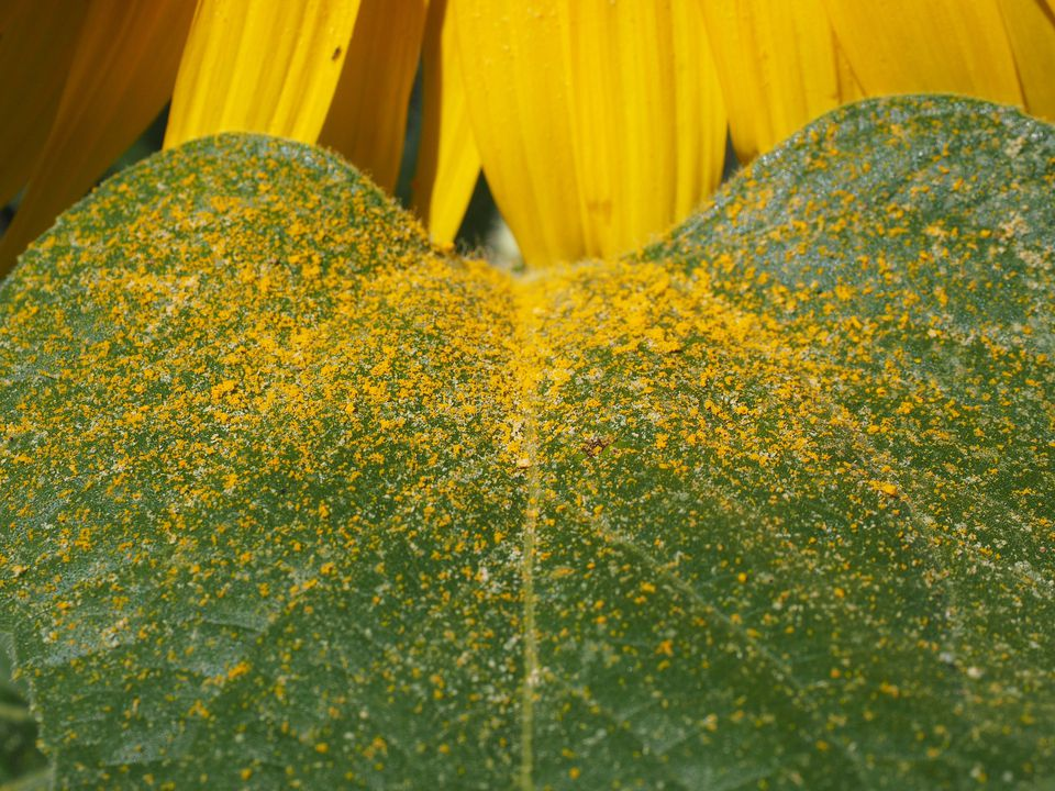 Leaf of pollen