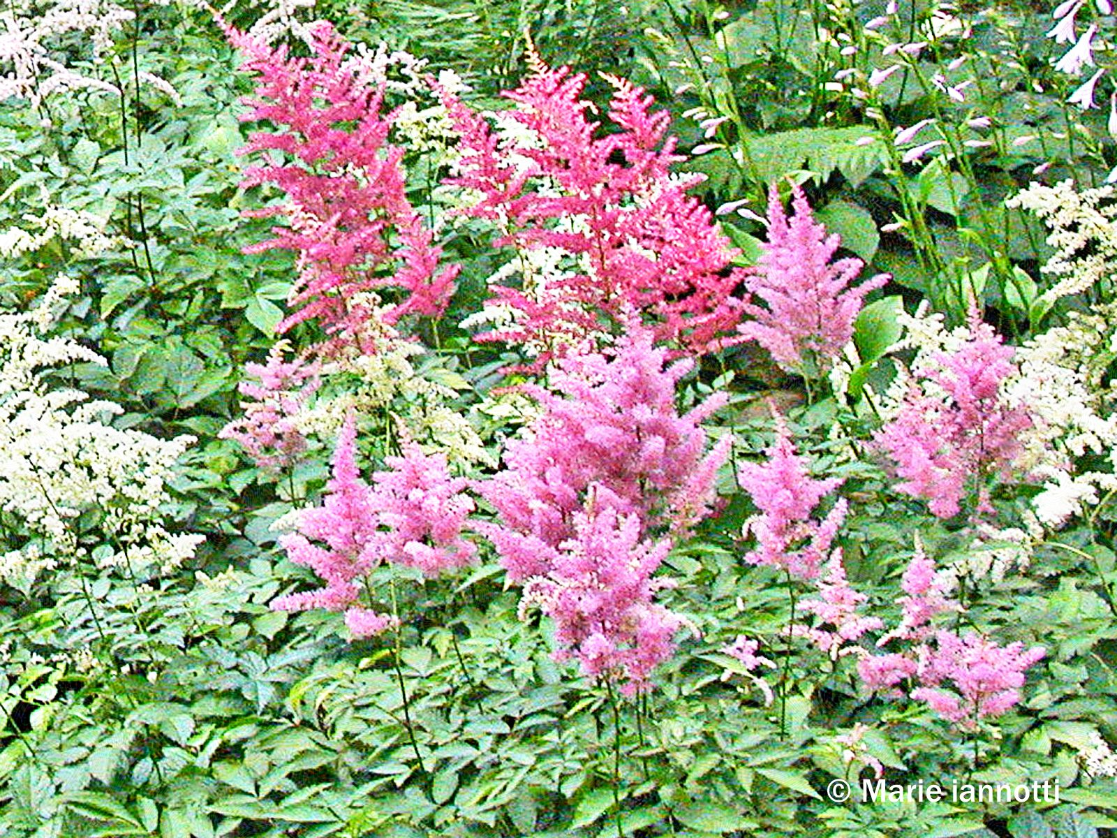 Perennial Plants That Don T Need Deadheading