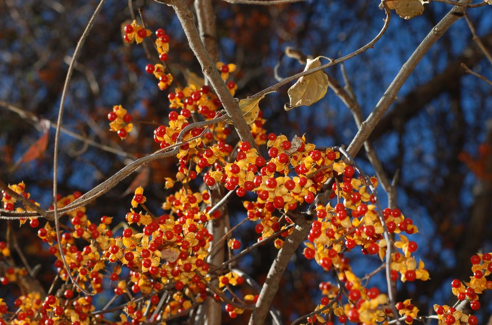 Image: fall berries of bittersweet vine.