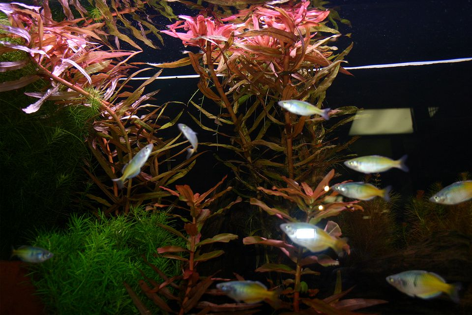 aquarium plants that multiply with node cuttings