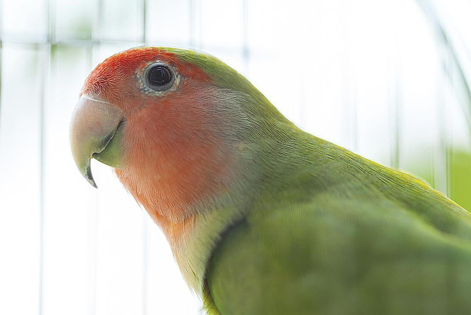 portraiture of Lovebird in birdcage, looking at camera