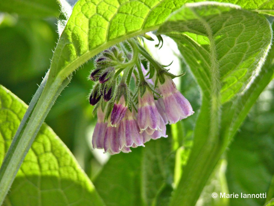 Comfrey Leaves Make a Great Free Fertilizer