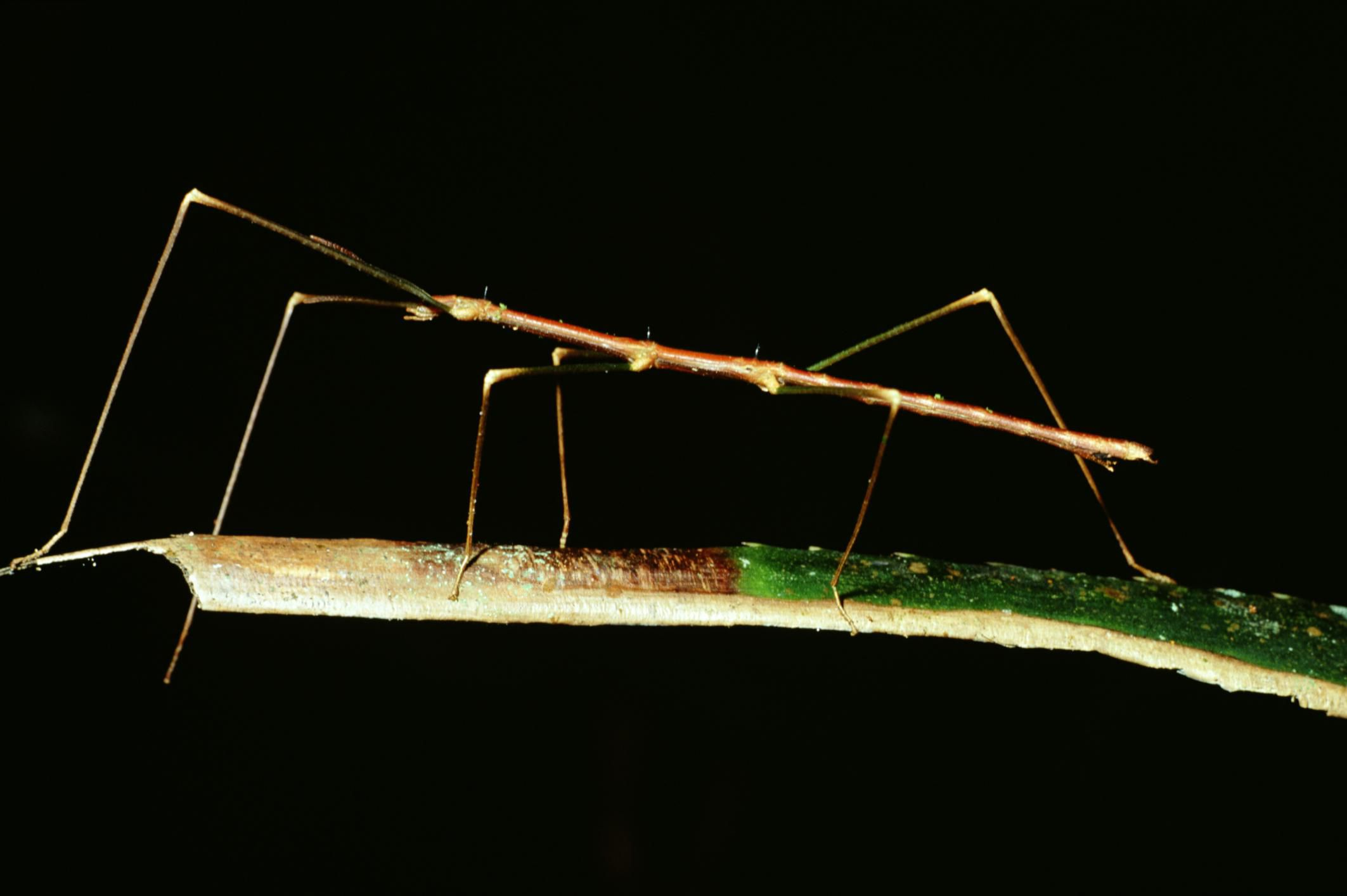 10 Fascinating Facts About Stick Insects