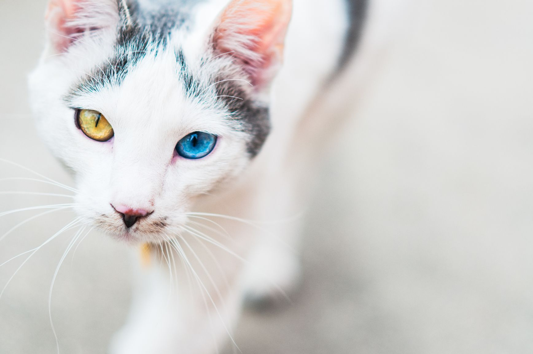 How to Determine Your Cat s Breed What Breed is Your Cat