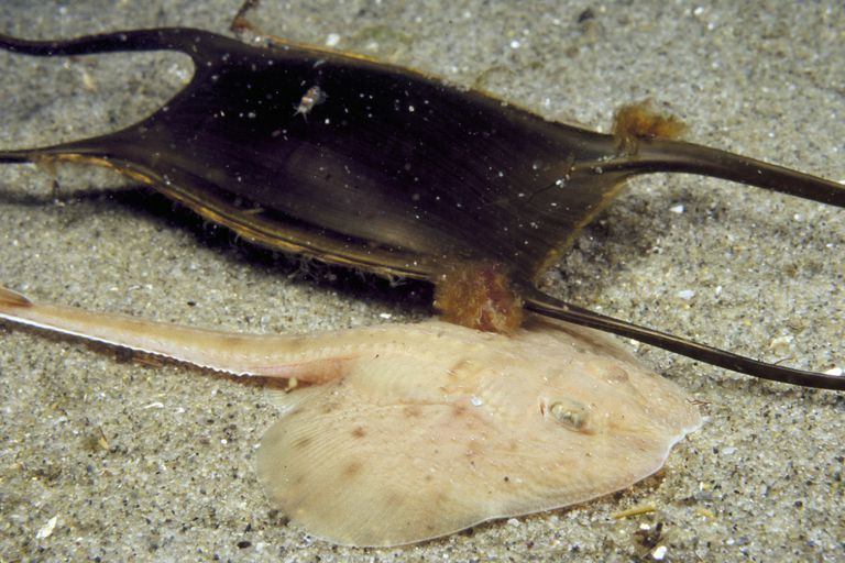 Little Skate and Egg Case / Johnathan Bird / Photolibrary / Getty Images