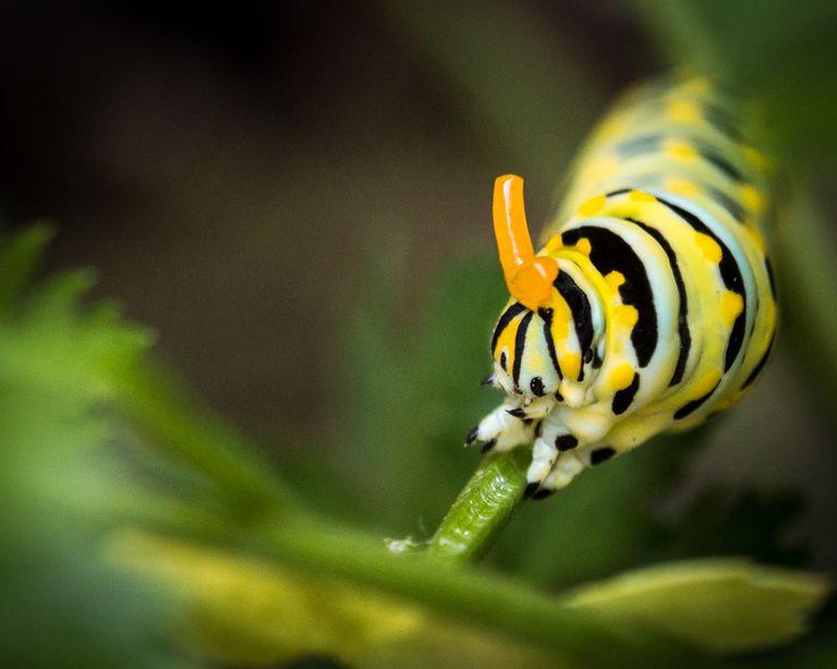 Black swallowtail caterpillar.
