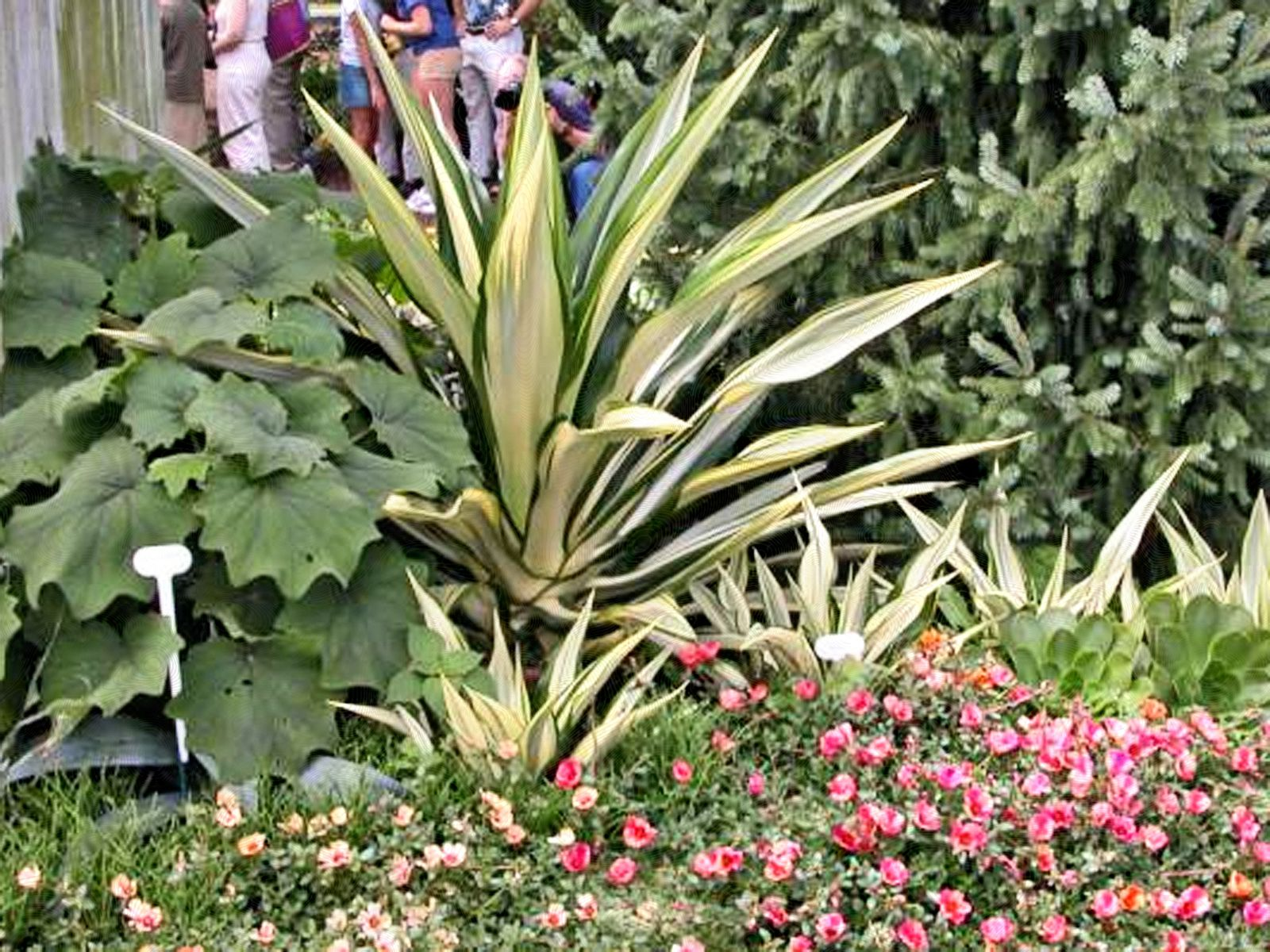 Growing New Zealand Flax Phormium