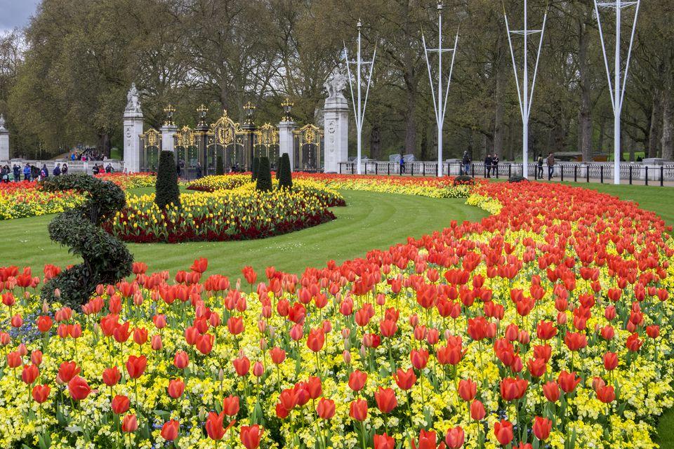 Mass of tulips, Green Park, London.