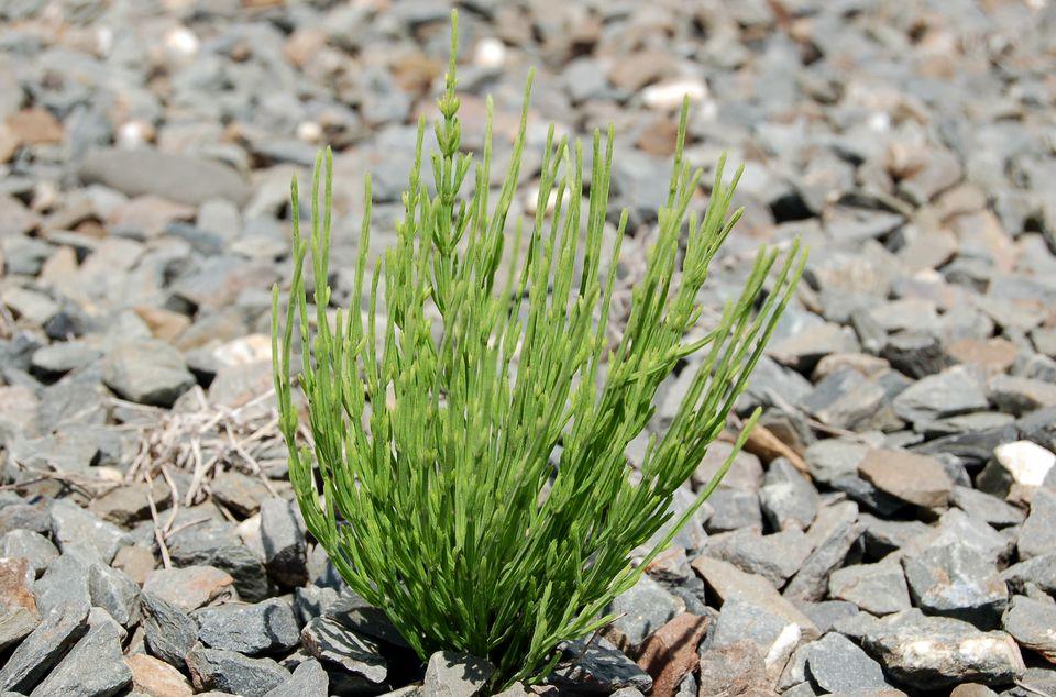 Equisetum arvense image.