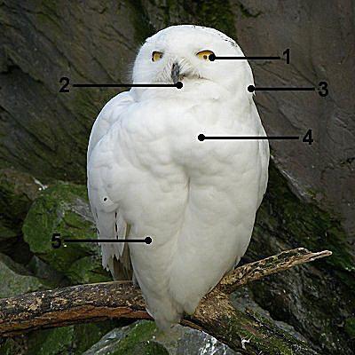 Identify a Male Snowy Owl