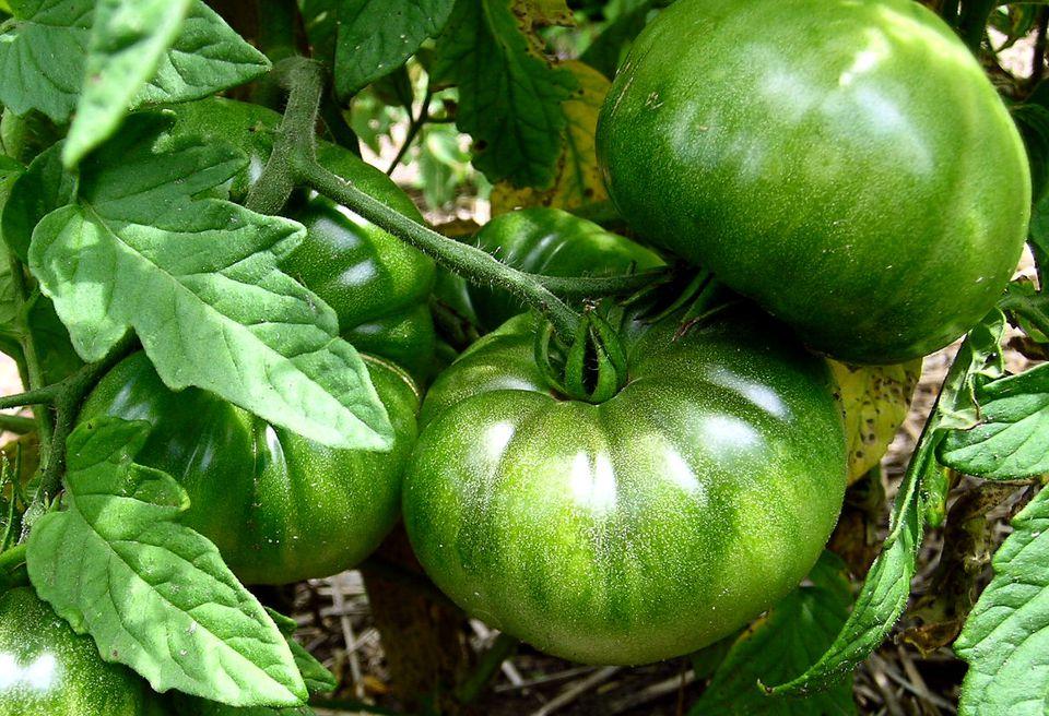 Ripening Green Tomatoes