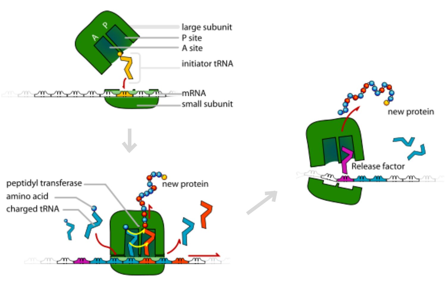 translation  making protein synthesis possible