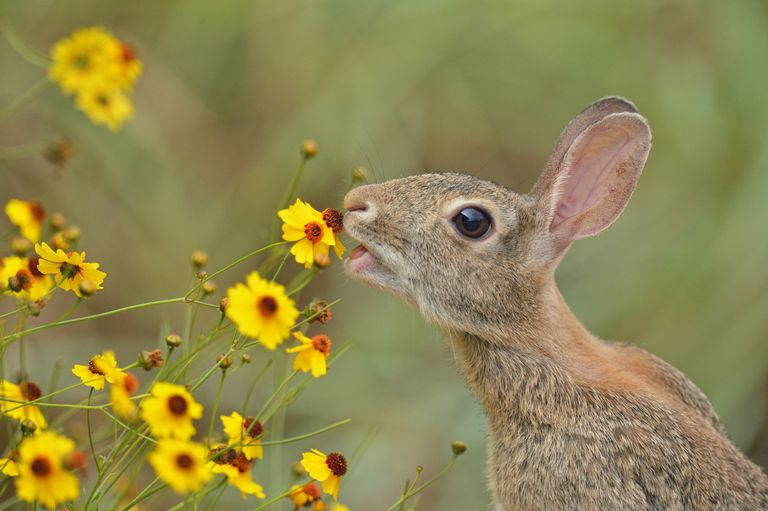 Rabbit eating a flower as part of the food chain