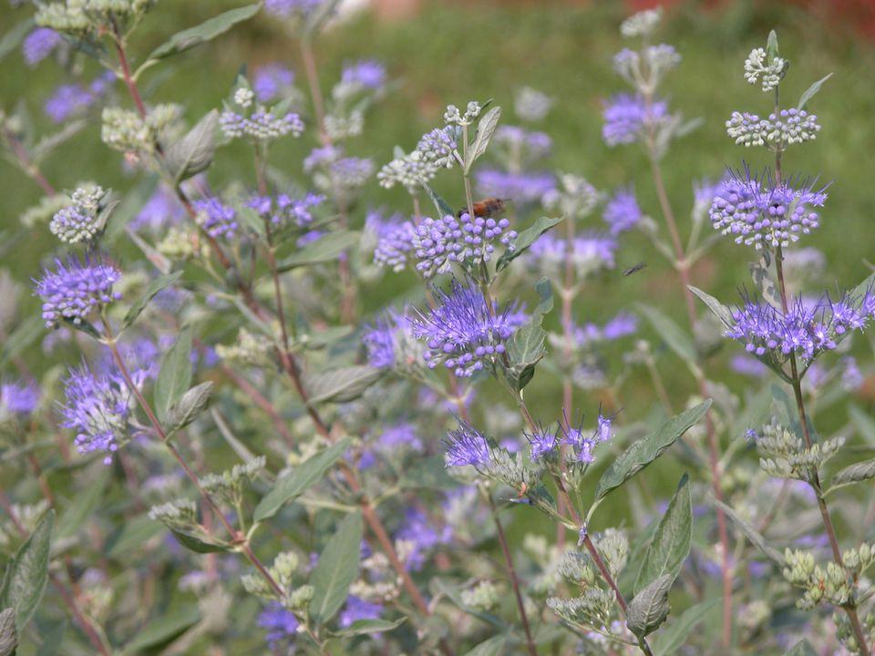 Caryopteris (Blue Mist Shrub)