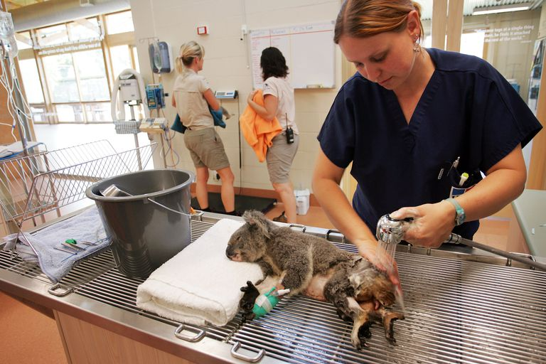 Woman bathes injured Koala.