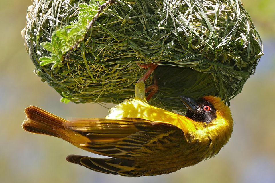 weaver-nest.jpg