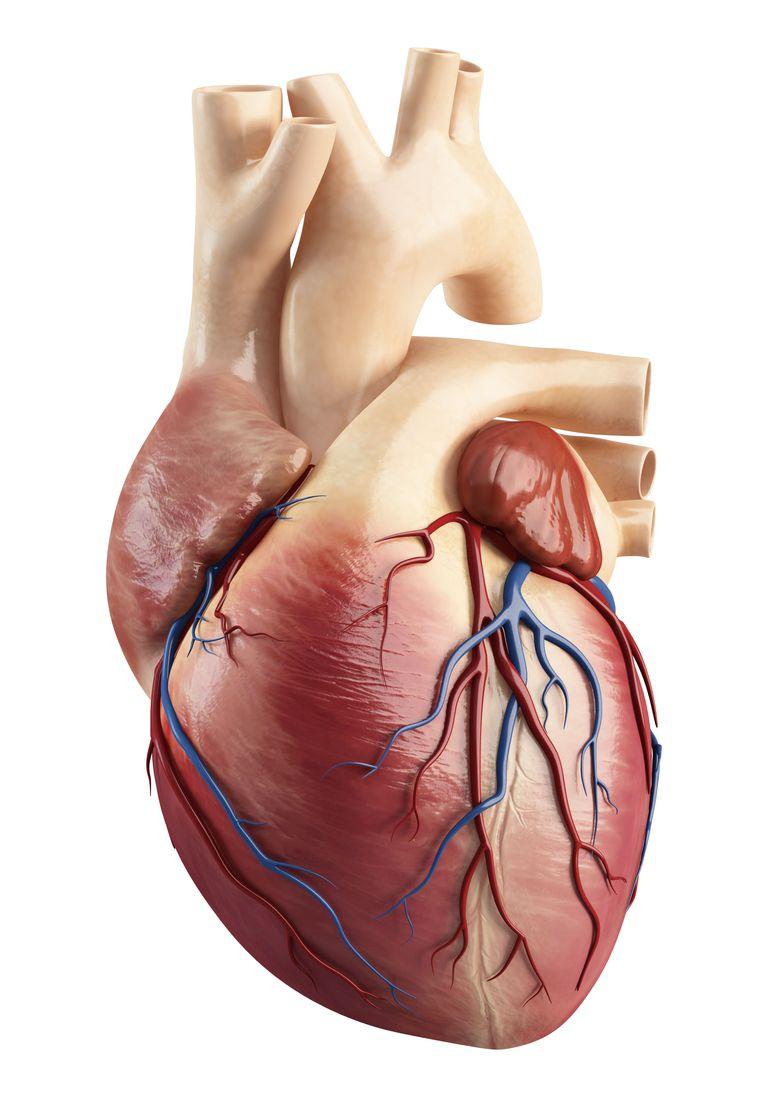 Cómo es el corazón