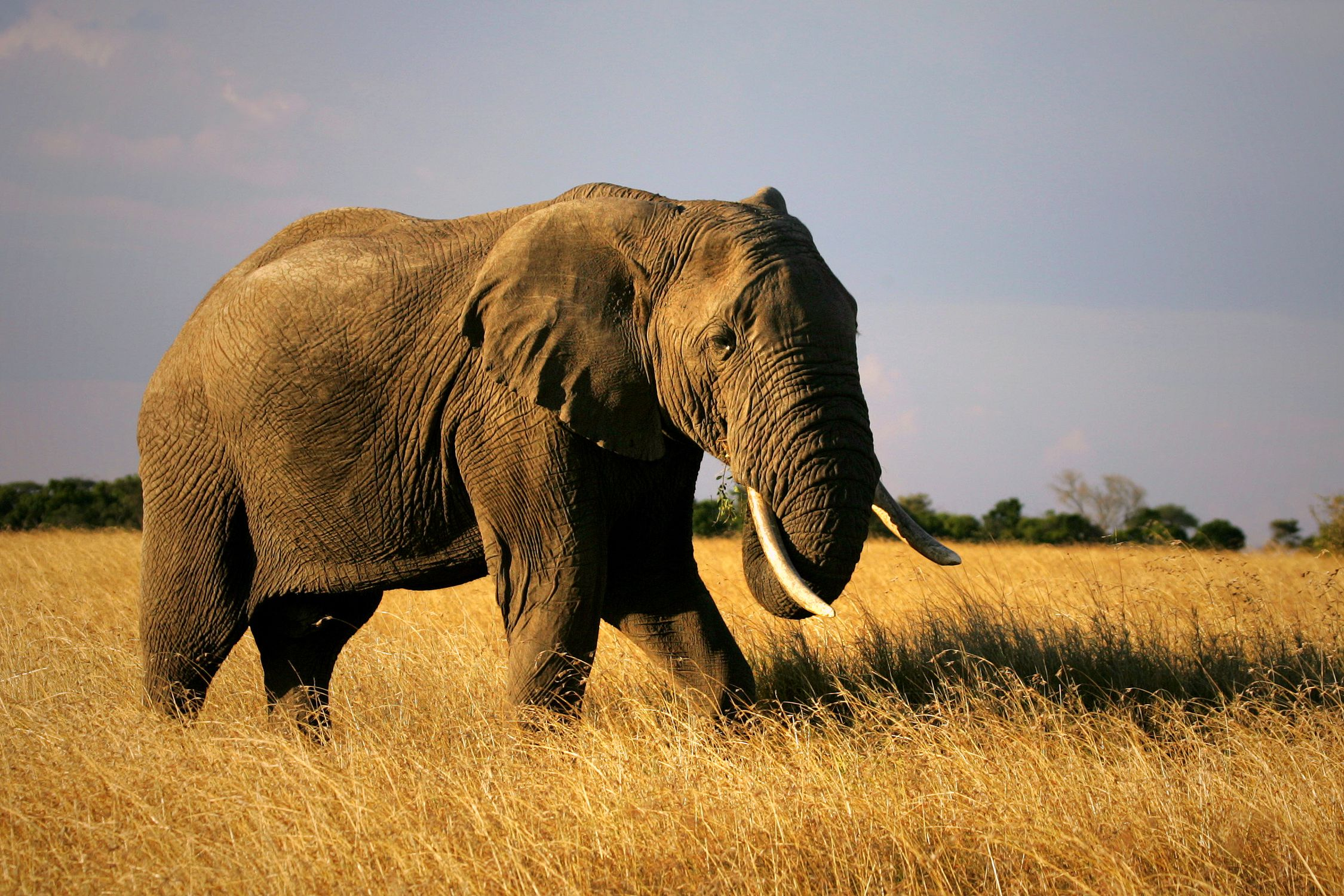 an analysis of the african elephant species loxodonta africana Conservation of endangered species and the effective implementation of the  endangered species act  cyclotis) and savannah elephants (loxodonta  africana)  table 5: african elephant database 2012 summary.