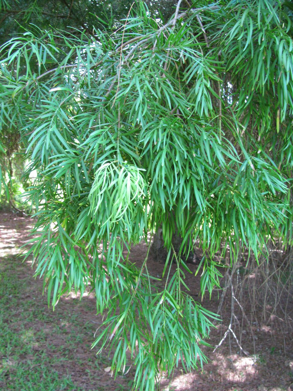 The fern pine works well as a specimen tree with its graceful, weeping branches.