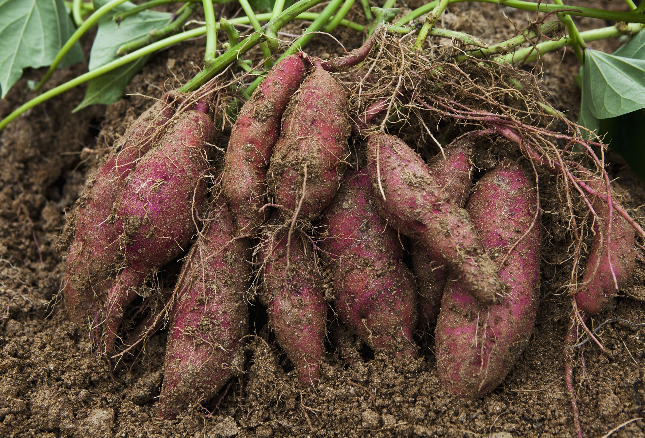 Weeds in flower beds with potato like roots - Weeds In Flower Beds With Potato Like Roots 18
