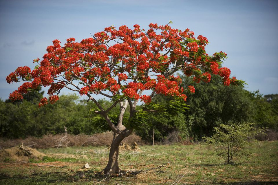 Flame tree (Delonix Regia).