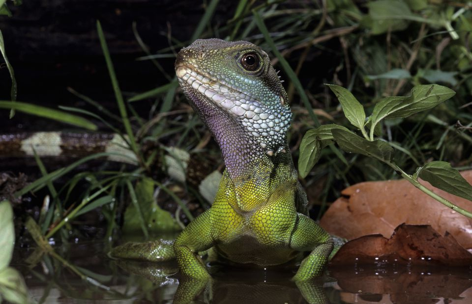 Chinese Water Dragon in captivity