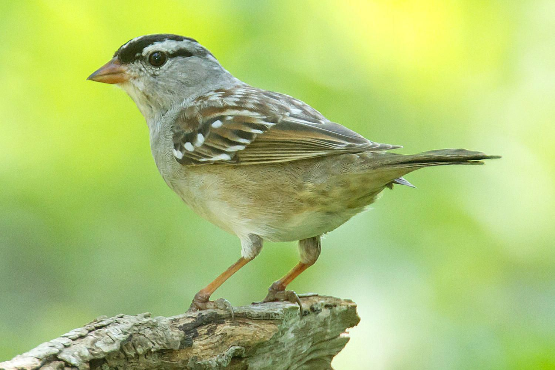 What makes sparrows unique