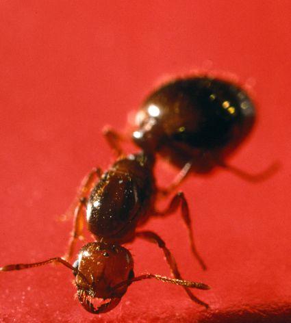 how to get rid of orange ants