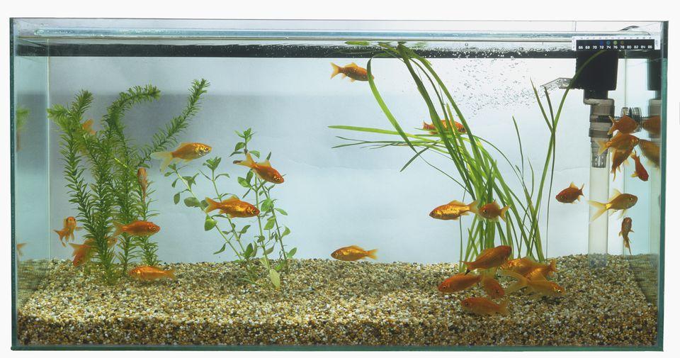 Goldfish (Carassius auratus) swimming in large rectangular fish tank.