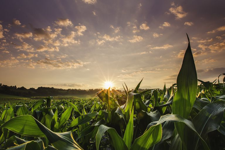 Corn Fields at Sunset