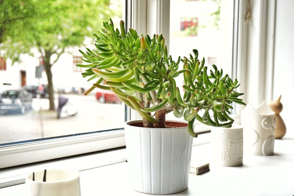 Jade plant in windowsill