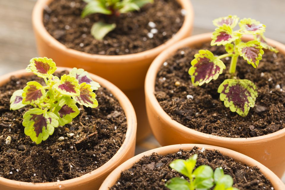 How to Grow Coleus Plants Indoors